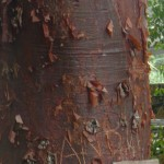 Bark that seemed similar to the Madronas in Washington